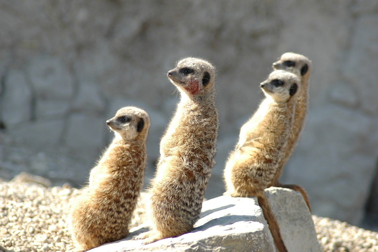 humour with meercats
