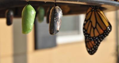 pivot butterfly pupas